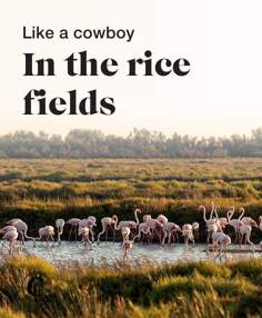 Like a cowboy in the rice fields
